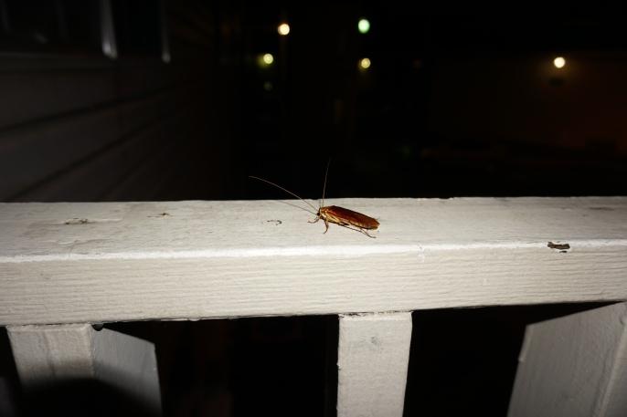 Flying roach